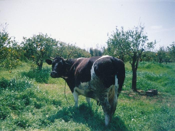 Warum pupsende Kühe unser Klima ernsthaft bebrohen