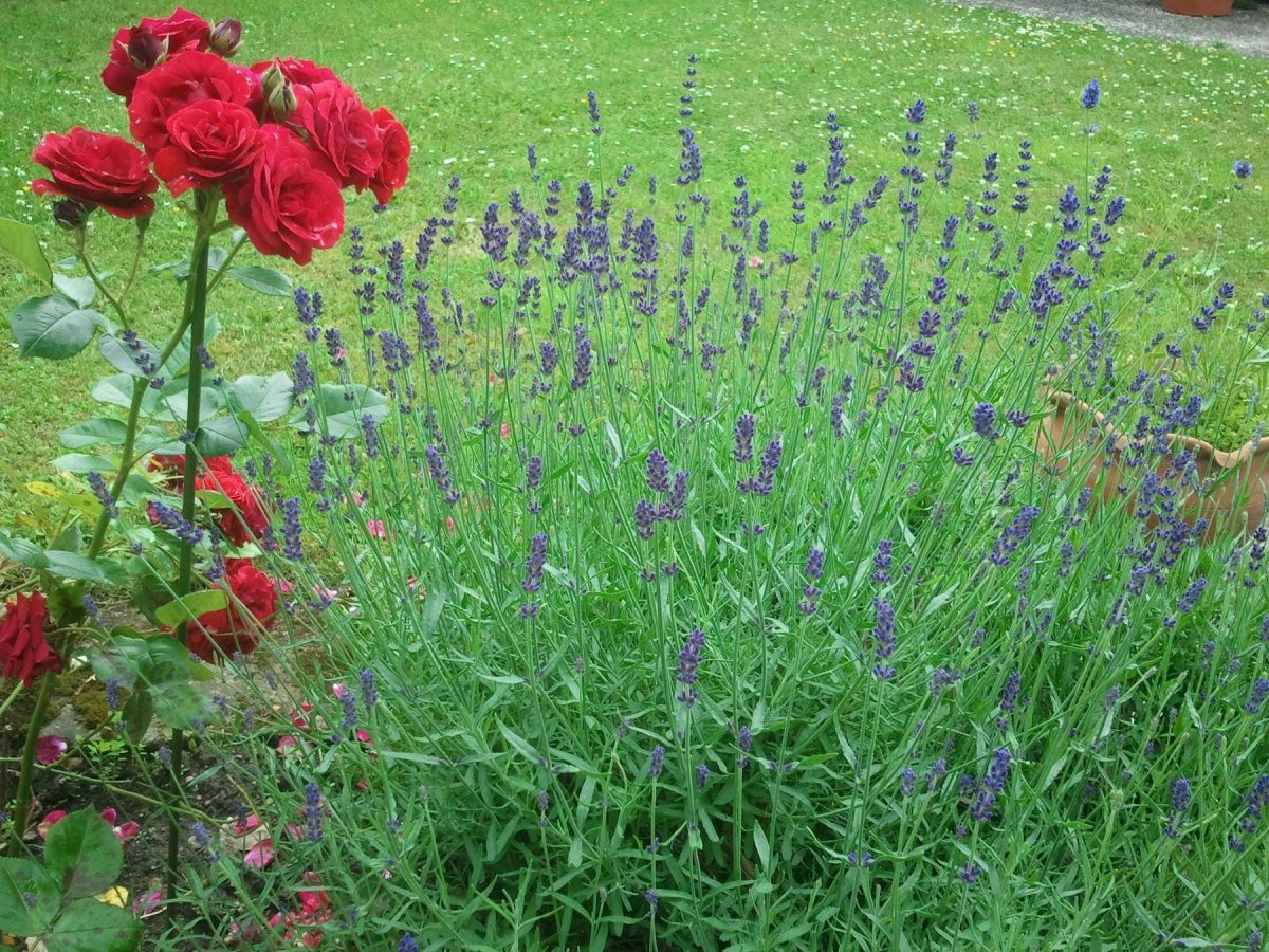 Mit Lila Blüten gegen Blähungen